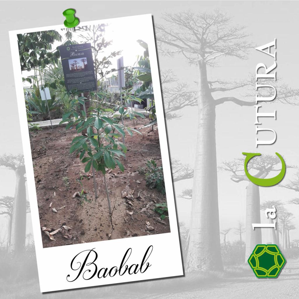 baobab_3